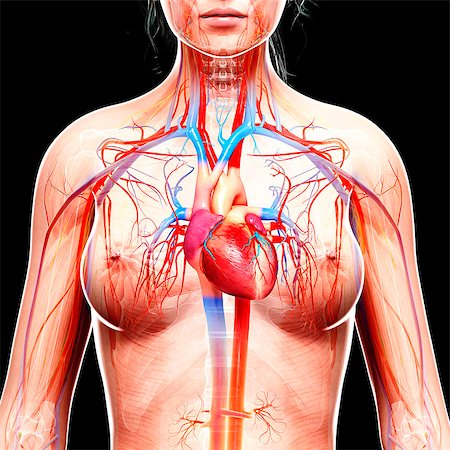 Female cardiovascular system, computer artwork. Stock Photo - Premium Royalty-Free, Code: 679-07605548