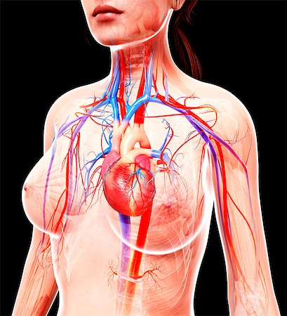 Female cardiovascular system, computer artwork. Stock Photo - Premium Royalty-Free, Code: 679-07605552