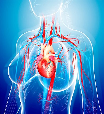 Female cardiovascular system, computer artwork. Stock Photo - Premium Royalty-Free, Code: 679-07605553
