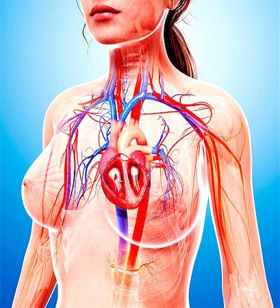 Female cardiovascular system, computer artwork. Stock Photo - Premium Royalty-Free, Code: 679-07605691