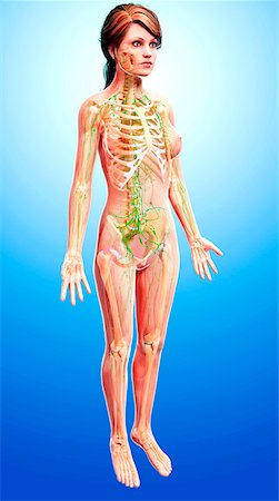 Female lymphatic system, computer artwork. Stock Photo - Premium Royalty-Free, Code: 679-07605702