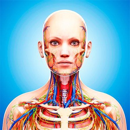 Female anatomy, computer artwork. Stock Photo - Premium Royalty-Free, Code: 679-07605745