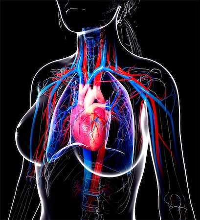 Female cardiovascular system, computer artwork. Stock Photo - Premium Royalty-Free, Code: 679-07605783