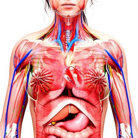 Female anatomy, computer artwork. Stock Photo - Premium Royalty-Free, Code: 679-07605865