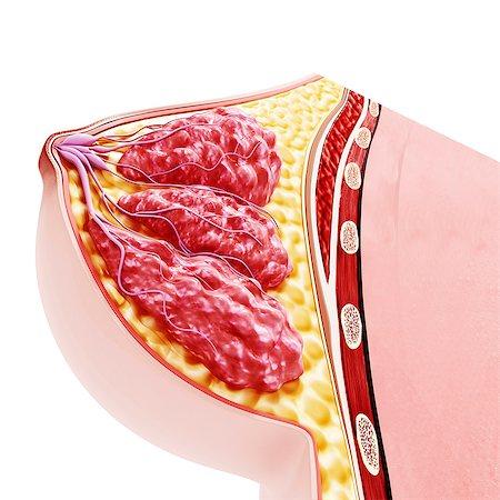 Breast anatomy, computer artwork. Stock Photo - Premium Royalty-Free, Code: 679-07605944