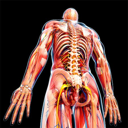 Male anatomy, computer artwork. Stock Photo - Premium Royalty-Free, Code: 679-07606020