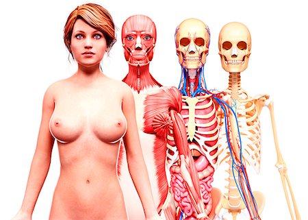 Female anatomy, computer artwork. Stock Photo - Premium Royalty-Free, Code: 679-07606052