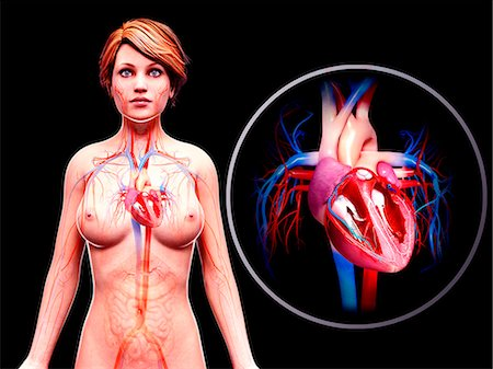 Female cardiovascular system, computer artwork. Stock Photo - Premium Royalty-Free, Code: 679-07606084