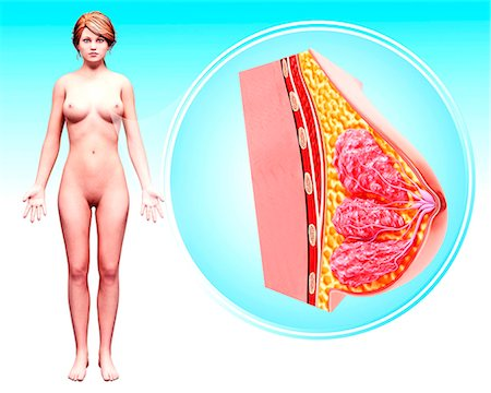 Female anatomy, computer artwork. Stock Photo - Premium Royalty-Free, Code: 679-07606189