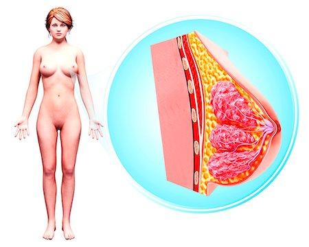 Female anatomy, computer artwork. Stock Photo - Premium Royalty-Free, Code: 679-07606190