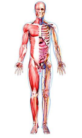 Male anatomy, computer artwork. Stock Photo - Premium Royalty-Free, Code: 679-07606318