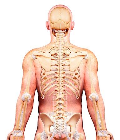spinal column - Male skeleton, computer artwork. Stock Photo - Premium Royalty-Free, Code: 679-07606408