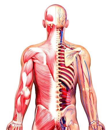 spinal column - Male anatomy, computer artwork. Stock Photo - Premium Royalty-Free, Code: 679-07606421