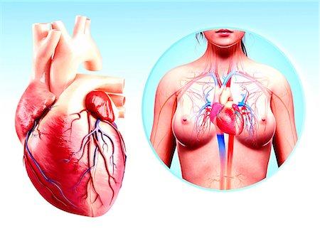 Human heart anatomy, computer artwork. Stock Photo - Premium Royalty-Free, Code: 679-07606594