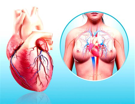 female - Human heart anatomy, computer artwork. Stock Photo - Premium Royalty-Free, Code: 679-07606740