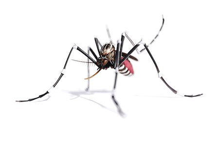 Mosquito, computer artwork. Stock Photo - Premium Royalty-Free, Code: 679-07603234