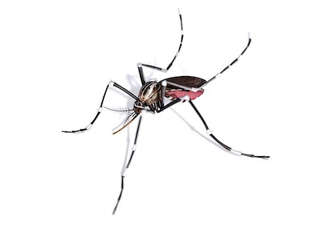 Mosquito, computer artwork. Stock Photo - Premium Royalty-Free, Code: 679-07603235