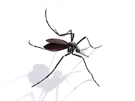 Mosquito, computer artwork. Stock Photo - Premium Royalty-Free, Code: 679-07603237