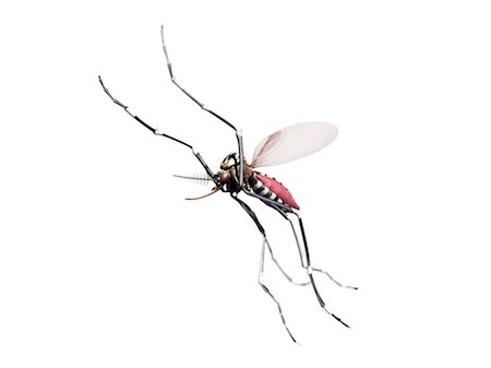 Flying mosquito, computer artwork. Stock Photo - Premium Royalty-Free, Code: 679-07603232