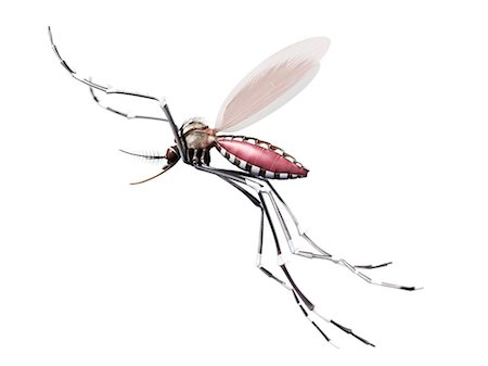 Flying mosquito, computer artwork. Stock Photo - Premium Royalty-Free, Code: 679-07603233