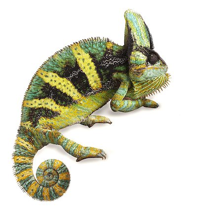 sitting - Veiled chameleon (Chamaeleo calyptratus). Stock Photo - Premium Royalty-Free, Code: 679-07603487