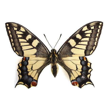 Swallowtail butterfly (Papilio machaon). Stock Photo - Premium Royalty-Free, Code: 679-07603491