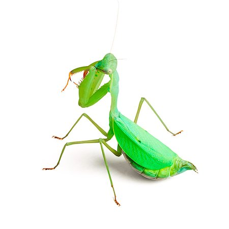 sit - Praying mantis (Taumantis sigiana). Stock Photo - Premium Royalty-Free, Code: 679-07603506