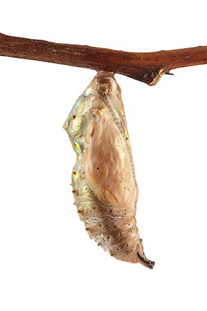 Painted lady butterfly (Vanessa cardui) cocoon. Stock Photo - Premium Royalty-Free, Code: 679-07603529