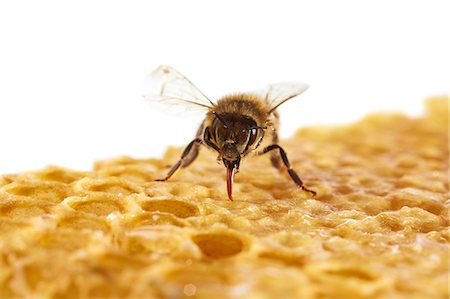 Honey bee (Apis mellifera) on honeycomb. Stock Photo - Premium Royalty-Free, Code: 679-07603535