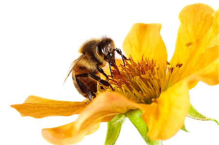 Honey bee (Apis mellifera) on a flower. Stock Photo - Premium Royalty-Free, Code: 679-07603536