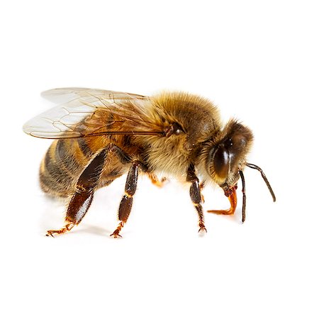 Honey bee (Apis mellifera). Stock Photo - Premium Royalty-Free, Code: 679-07603537