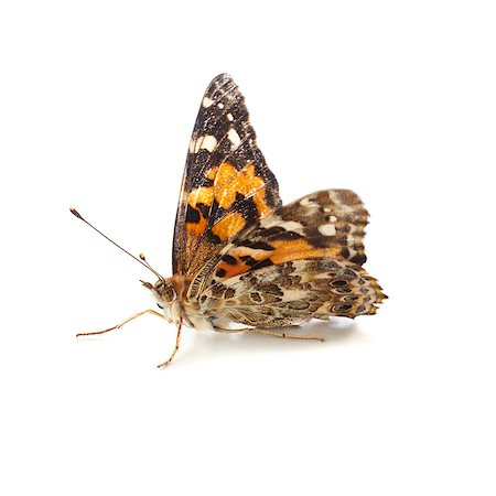 Painted lady butterfly (Vanessa cardui). Stock Photo - Premium Royalty-Free, Code: 679-07603531