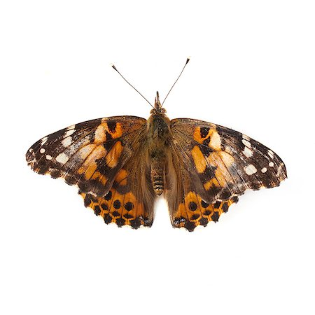 Painted lady butterfly (Vanessa cardui). Stock Photo - Premium Royalty-Free, Code: 679-07603533