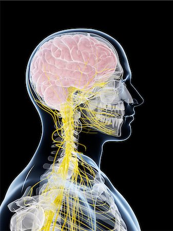 spinal column - Male nervous system, computer artwork. Stock Photo - Premium Royalty-Free, Code: 679-07603700