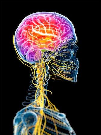 Active brain, computer artwork. Stock Photo - Premium Royalty-Free, Code: 679-07603724