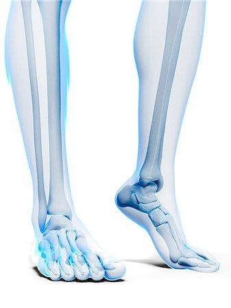 Bones of the feet, computer artwork. Stock Photo - Premium Royalty-Free, Code: 679-07603944