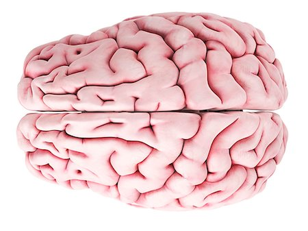 Human brain, computer artwork. Stock Photo - Premium Royalty-Free, Code: 679-07649684