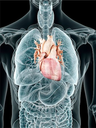 Human heart, computer artwork. Stock Photo - Premium Royalty-Free, Code: 679-07649781