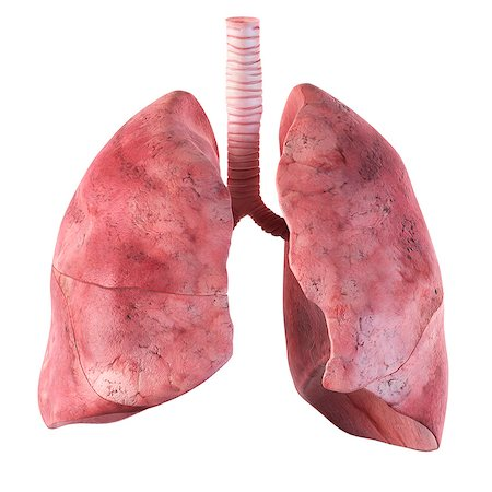 Human lungs, computer artwork. Stock Photo - Premium Royalty-Free, Code: 679-07649852