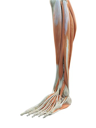 Human leg and foot muscles, computer artwork. Stock Photo - Premium Royalty-Free, Code: 679-07649919