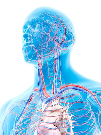 Human head showing the vascular system, computer artwork. Stock Photo - Premium Royalty-Free, Code: 679-07650086