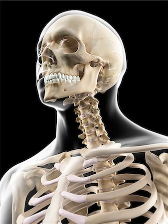 rib - Human skull and neck, computer artwork. Stock Photo - Premium Royalty-Free, Code: 679-07650083