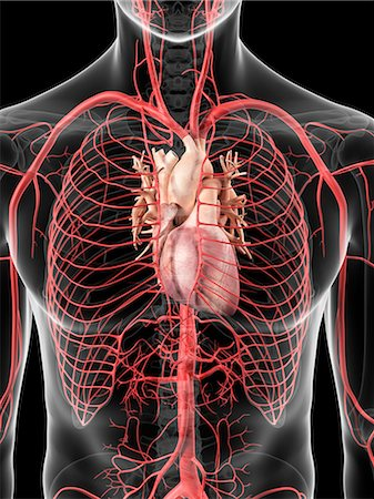 Human heart and arteries, computer artwork. Stock Photo - Premium Royalty-Free, Code: 679-07650322