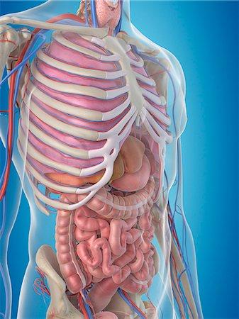 rib - Human internal organs, computer artwork. Stock Photo - Premium Royalty-Free, Code: 679-07650392