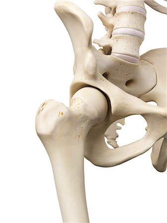 Human hip joint, computer artwork. Stock Photo - Premium Royalty-Free, Code: 679-07650559