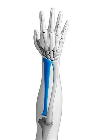 Human arm bone (radius), computer artwork. Stock Photo - Premium Royalty-Free, Code: 679-07732830