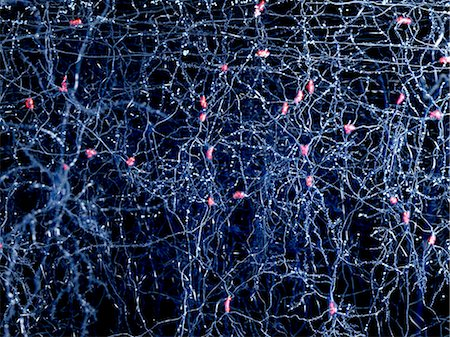 Neuron network in the human brain, computer artwork. Stock Photo - Premium Royalty-Free, Code: 679-07764671