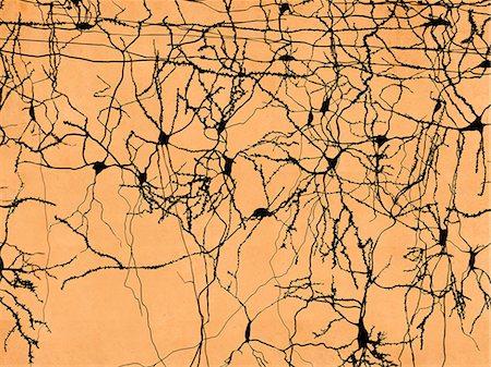 Neuron network in the human brain, computer artwork. Stock Photo - Premium Royalty-Free, Code: 679-07764672