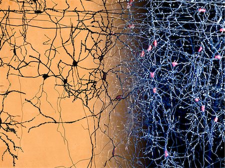 Neuron network in the human brain, computer artwork. Stock Photo - Premium Royalty-Free, Code: 679-07764673