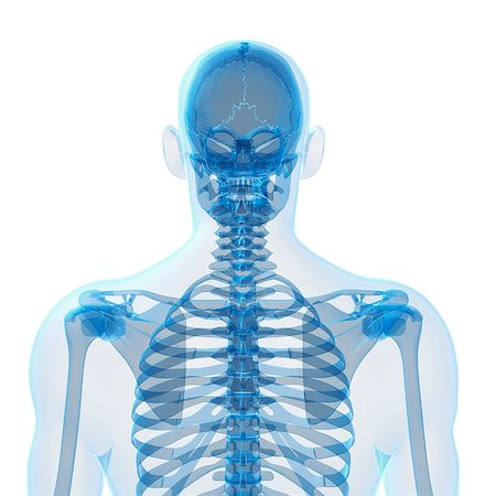 spinal column - Human skeleton, computer artwork. Stock Photo - Premium Royalty-Free, Code: 679-07765059